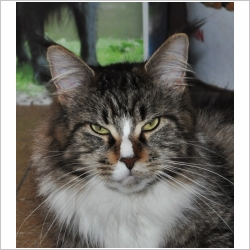 Eleveur chat maine coon ile de france